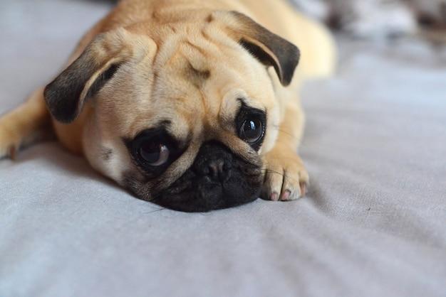 ソファに横たわっている悲しい犬のモップ