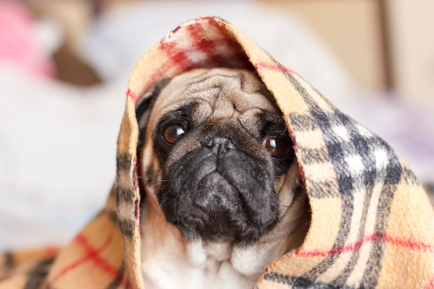 Sad dog pug with big eyes in checkered blanket