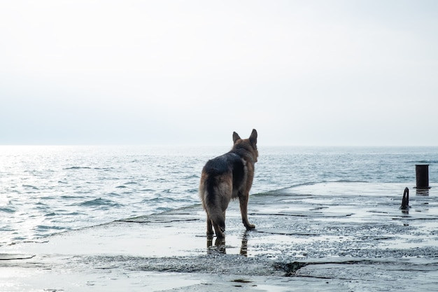 슬픈 개는 바다 옆에 서서 멀리 본다