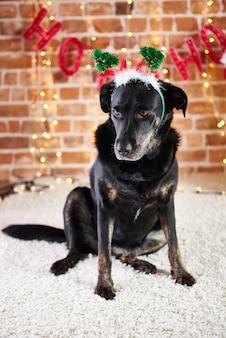 Sad dog with santa hat looking down