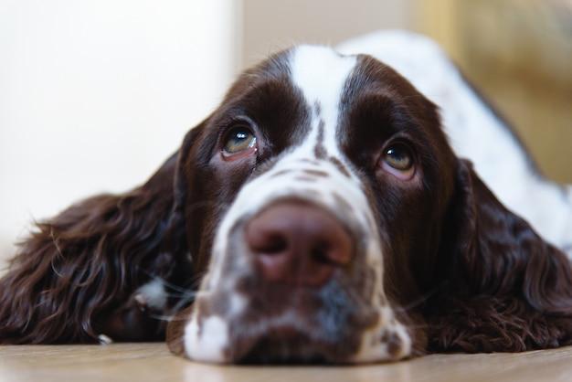 Sad english springer spaniel puppy dog