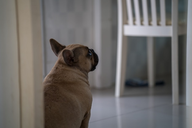 타일 바닥에 문에 앉아 슬픈 프랑스 불독