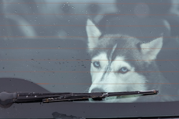Sad and funny siberian husky dog in car, cute pet. dog waiting for walking before sled dog training and race.