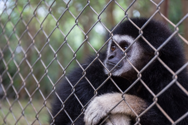 Sad  gibbon behind the cage in the park