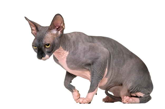 Sad and guilty sphynx isolated on white