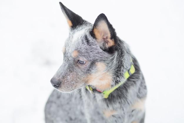 Печальный щенок целителя сидит зимой снега. крупным планом. австралийская овчарка и снегопад. фото высокого качества