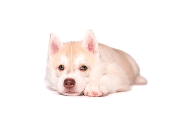 Грустный щенок хаски, изолированные на белом фоне