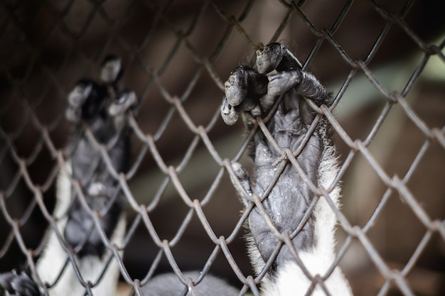 Sad imprison gibbon or wildlife hope for help and freedom in the cage