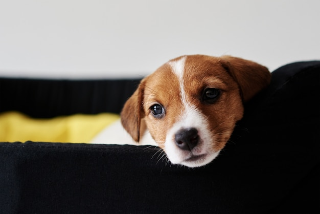 Sad jack russel terrier dog lies in bed