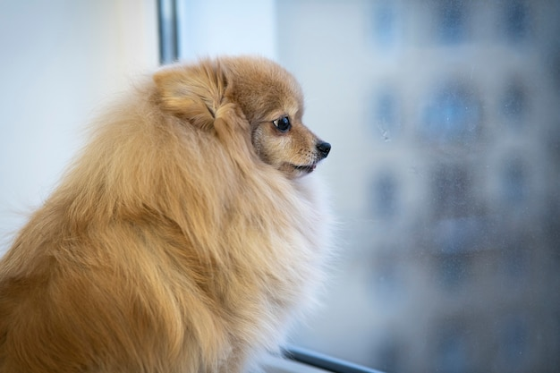 Sad little dog seating near the window and watching