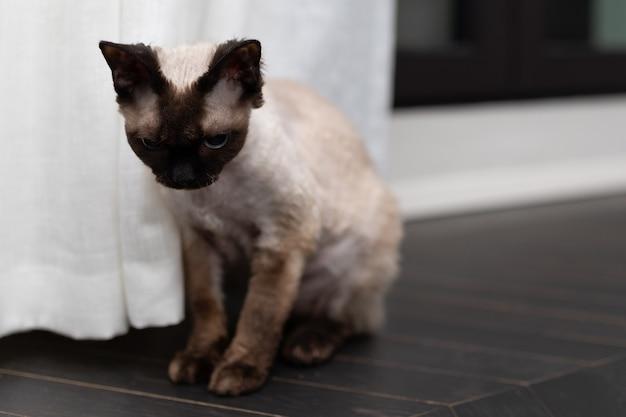 Sad little kitty devon rex cat. blu point type in the home interior