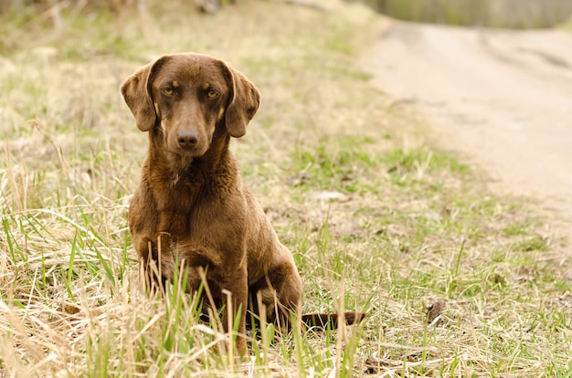 Sad lonely serious brown dog dachshund sitting on the road. homeless stray animal waiting for its owner.. love, animal care concept