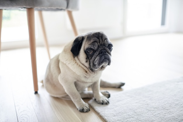 Sad mops dog sitting under a chair, tired pug on the floor