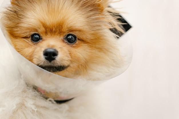 Sad pomeranian dog in elizabethan collar, plastic cone, medical protection of the animal
