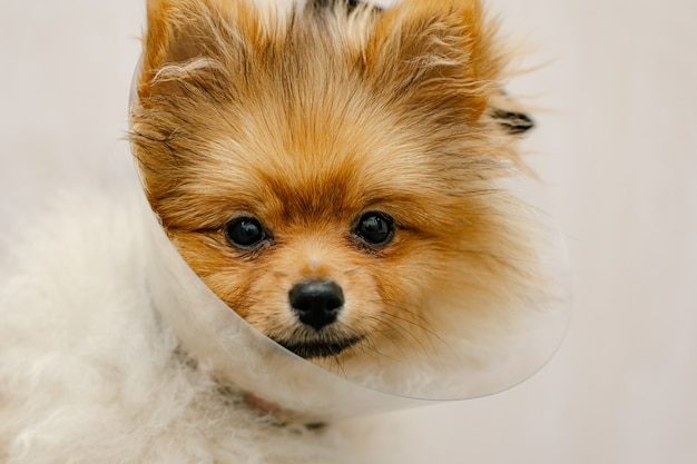 Sad pomeranian dog in elizabethan collar