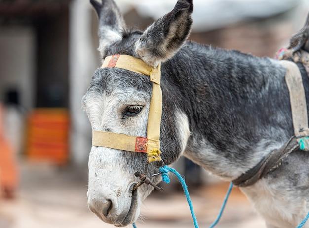 Грустный, бедный серый осел на улице марокко, осел на ферме