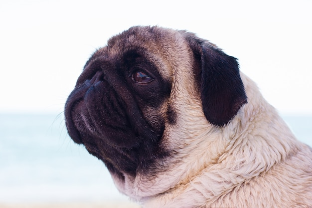 Sad pug dog sits on the beach and looks at the sea.