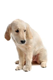 Sad puppy golden retriever