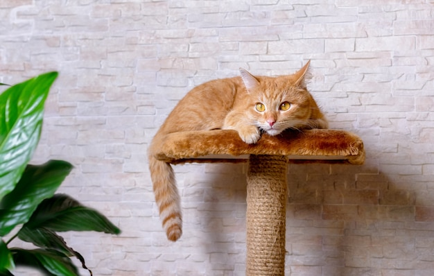 悲しい赤い猫は、引っかき棒でカメラを見て横たわっています。