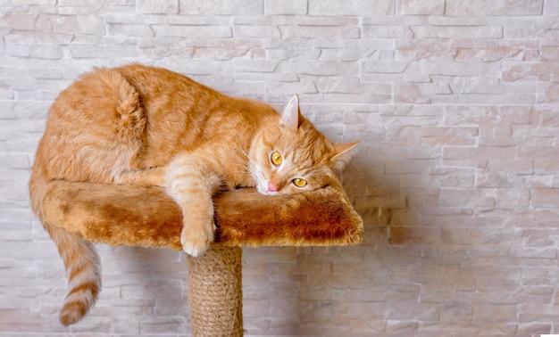 引っかき棒で家の隙間をのぞき込んで横たわっている悲しい赤い生姜猫