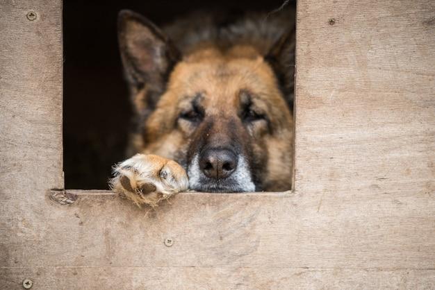 Грустная овчарка на цепи сидит в будке на улице. собака с грустными глазами. собака на цепи. сторожевая собака