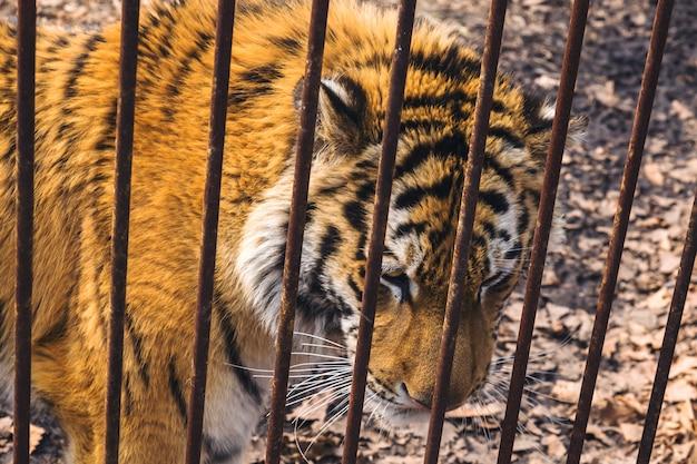 サファリパークのさびた檻の後ろに悲しいシベリア(アムール)トラ