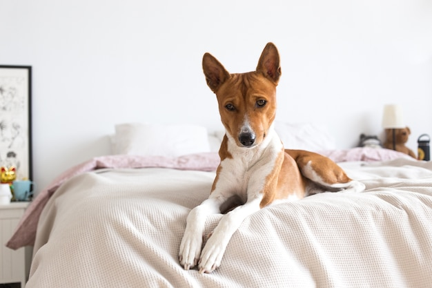Sad and thoughtful little puppy of basenji breed lays on bed, on lazy sunday morning, looks down and frowns. lonely dog waits for owner at home