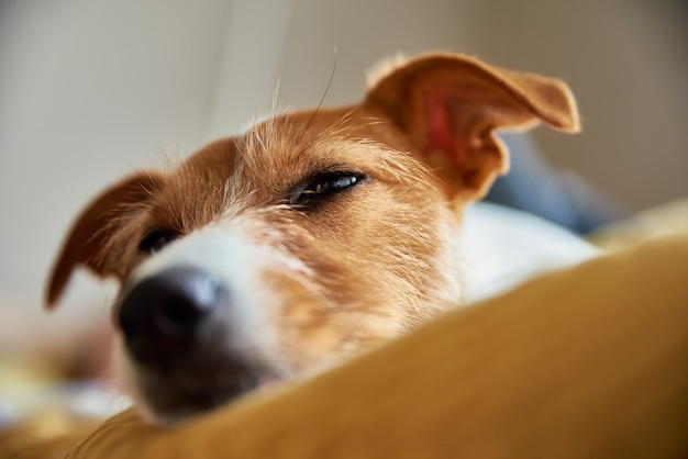 Sad tired dog in his bed sleeping jack russell terrier