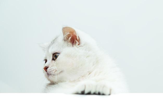 슬픈 흰색 영국 고양이