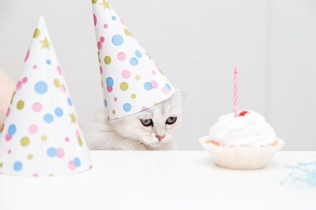 Печальный белый котенок в праздничной шапочке смотрит на торт. концепция дня рождения и праздника.