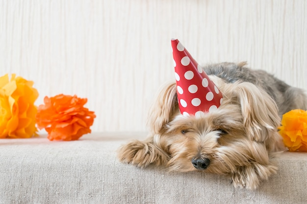 Sad yorkshire terrier (yorkie) dog in red party hat cap lies on table
