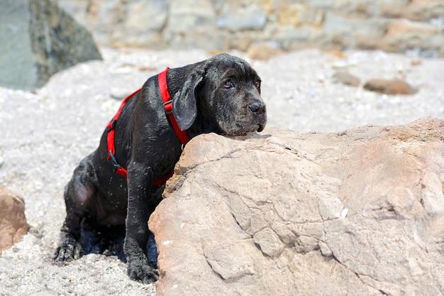 Sad young black dog put his head on a stone