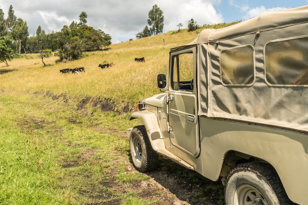 Safari 4x4 truck with cows