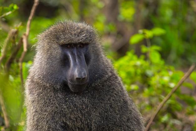 アフリカ、ケニアのナクル国立公園にある車でのサファリ。公園でカメラを見ている美しい類人猿