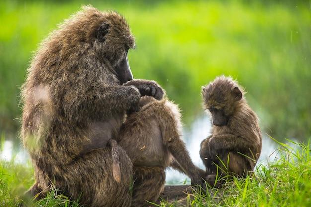 アフリカ、ケニアのナクル国立公園にある車でのサファリ。お互いのノミを掃除する類人猿の家族