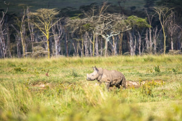 アフリカ、ケニアのナクル国立公園にある車でのサファリ。小さなアフリカのシロサイ