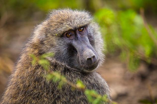 Safari by car in the nakuru national park in kenya, africa. a beautiful ape looking at camera in the park