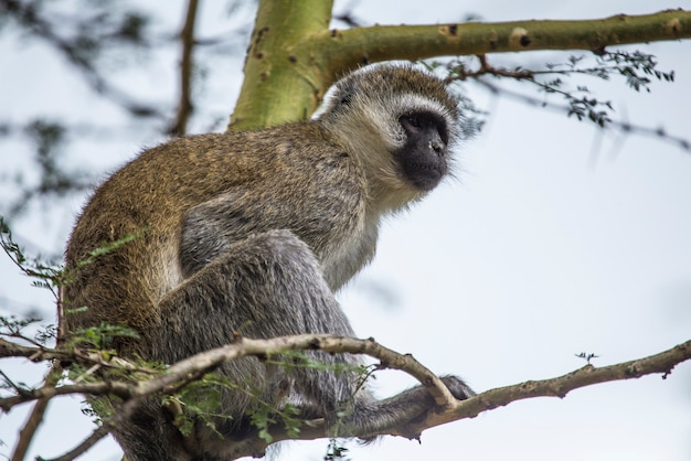 Safari by car in the nakuru national park in kenya, africa. a black faced monkeys by the lake