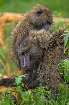 Safari by car in the nakuru national park in kenya, africa. a family of apes cleaning each other's fleas