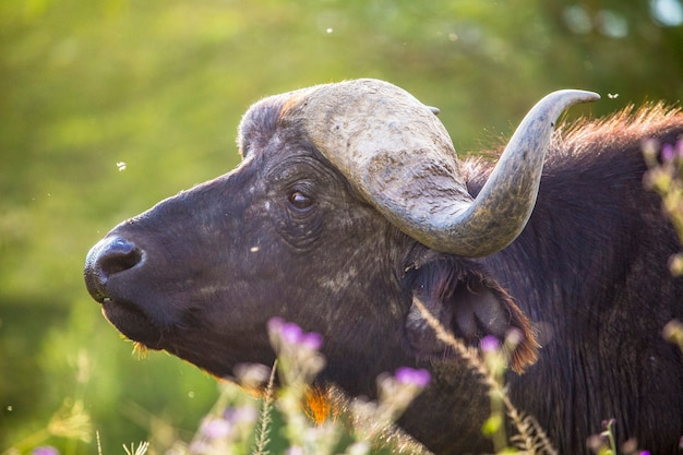 Safari by car in the nakuru national park in kenya, africa. an ox with beautiful horns in the park
