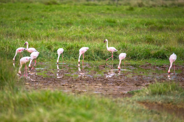 Safari by car in the nakuru national park in kenya, africa. pink flamingos by the lake