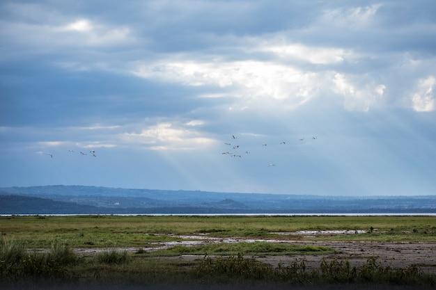 Safari by car in the nakuru national park in kenya, africa. pink flamingos flying over the lake