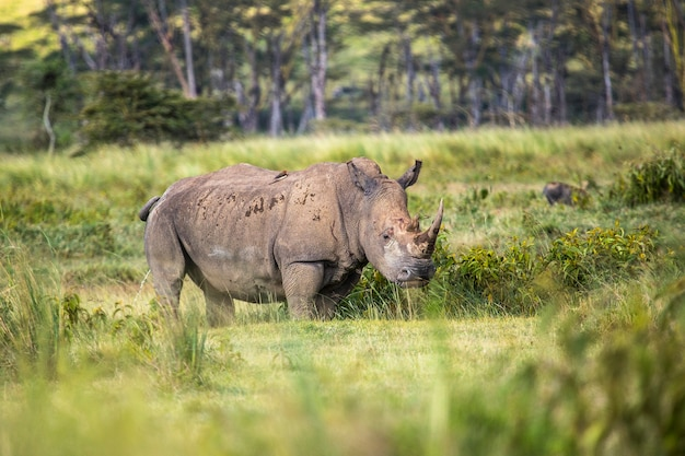 Safari by car in the nakuru national park in kenya, africa. the precious african white rhinos