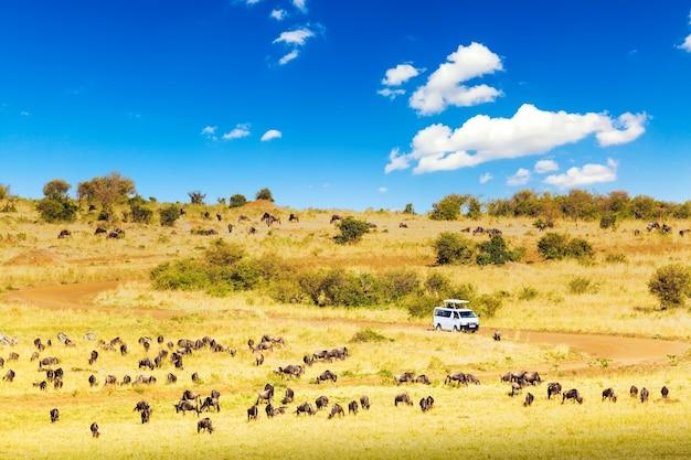 사파리 개념입니다. 아프리카 사바나에서 누우와 얼룩말이 있는 사파리 자동차. 케냐 마사이 마라 국립공원.