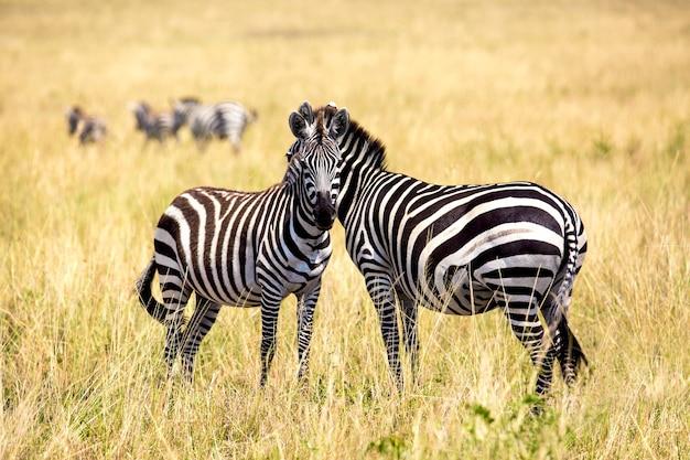 Safariのコンセプト。アフリカのサバンナのゼブラカップル。ケニアのマサイマラ国立公園。アフリカの野生生物。