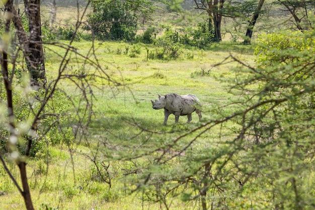 Сафари. белый носорог в саванне