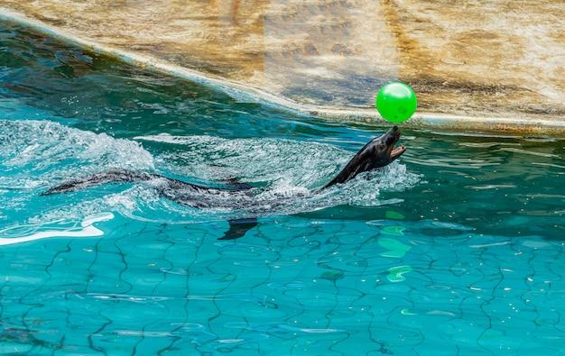 Туристы могут отдохнуть, наблюдая за выступлениями дельфинов и морских львов в safari world park, бангкок, таиланд.