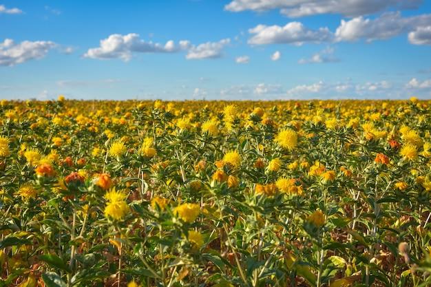 홍화 밭, 많은 홍화, 노란 가시 꽃밭, carthamus tinctoriu
