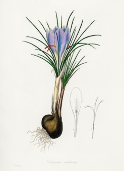 Saffron crocus (crocus sativus) illustration from medical botany (1836)