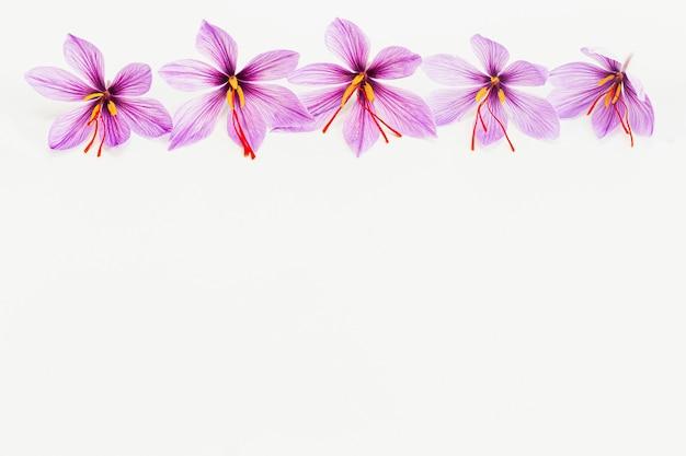 白い背景の上のサフランクロッカスの花。スペースをコピーします。サフランの花が一列に並んでいます。